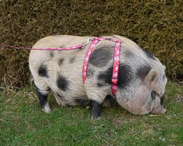 Mini Pig Harness / Adjustable Pig Harness