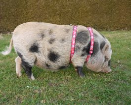Mini Pig Harness / Adjustable Pig Harness