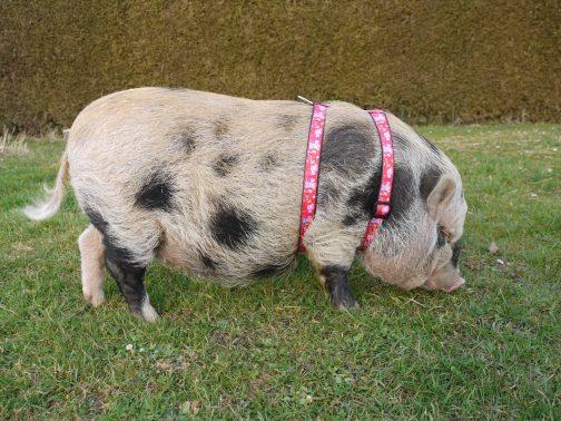 mini pig harness